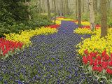 Pathway of Grape Hyacinth  daffodils and tulips  Keukenhof Gardens  Lisse  Netherlands  Holland