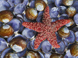 Close-Up of Starfish and Clam Shells  Hood Canal  Seabeck  Washington  USA