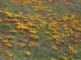 Owl&#39;s Clover and California Poppies  Antelope Valley  California  USA