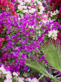 Bougainvillea Flowers  San Miguel De Allende  Guanajuato State  Mexico