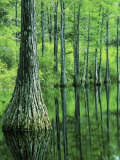 Bald Cypress  Apalachicola National Forest  Florida  USA