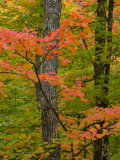 Colorful Maple Trees   Keweenaw Penninsula  Michigan  USA