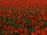 Tulips  Skagit River Valley  Washington  USA