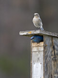 Mountain Bluebirds  British Columbia  Canada