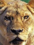 Lioness  Masai Mara Game Reserve  Kenya