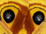 Close-Up of Saturnia Moth Wings  Pennsylvania  USA