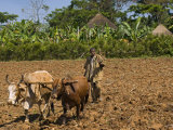 Farmer Plows with Oxen  between Jima and Bonga  Ethiopia