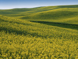 Fields of Canola  Whitman County  Washington  USA
