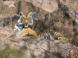 Tiger Resting on Cliff Face  Ranthambore National Park  Rajasthan  India
