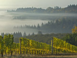 Fog Pools in Willamette Valley  Dundee  Oregon  USA