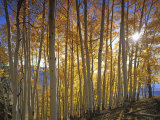 Aspen Grove  Gunnison National Forest  Colorado  USA