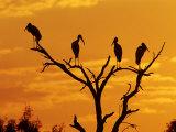 Wood Stork  Lake Corpus Christi  Texas  USA