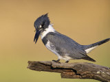 Belted Kingfisher  Willacy County  Rio Grande Valley  Texas  USA