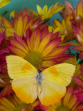 The Orange Barred Sulphur Butterfly