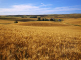 Wheat fields  Whitman County  Washington  USA