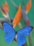 Morpho Anaxibia Butterfly on Flowers