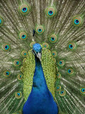 Peacock on Castle Grounds  Cardiff Castle  Wales