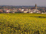 Yellow mustard flowers  Elvillar Village  La Rioja  Spain