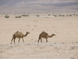 Domesticated Camels that roam the Desert  Salalah  Dhofar  Oman