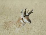 Pronghorn Male Resting  Yellowstone National Park  Wyoming  USA