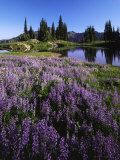 Lupine and Alpine tarn  William O Douglas Wilderness  Washington  USA