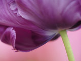 Close-up of underside of tulip flower  Kuekenhof Gardens  Lisse  Netherlands  Holland
