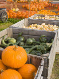 Pumpkins and gourds at the Moulton Farm  Meredith  New Hampshire  USA