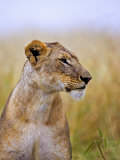 Lion Sitting in the High Grass  Maasai Mara  Kenya