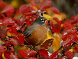 American Robin in Black Hawthorn  Grand Teton National Park  Wyoming  USA