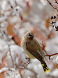 Adult Cedar Waxwing  Grand Teton National Park  Wyoming  USA