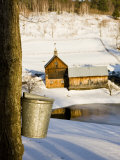 Sap buckets on Maple Trees  Pomfret  Vermont  USA