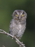 Eastern Screech-Owl Young Fledgling  Willacy County  Rio Grande Valley  Texas  USA