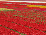 Flower field of tulips  Netherlands  Holland