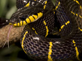 Mangrove Snake with Tongue Out