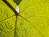 Pinot Noir Leaf  Anne Amie Vineyard  Willamette Valley  Oregon  USA