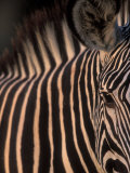 Grevy's Zebra at Sunset  Buffalo Springs National Reserve  Kenya