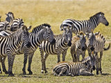 Zebras Herding in The Fields  Maasai Mara  Kenya
