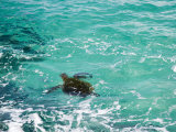 Green sea turtle  Hawaii