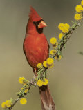 Northern Cardinal on Blooming Huisache  Lake Corpus Christi  Texas  USA