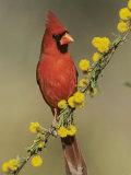 Northern Cardinal on Blooming Huisache  Lake Corpus Christi  Texas  USA