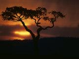 Acacia Tree During Afternoon Rain Storm  Masai Mara Game Reserve  Kenya