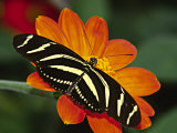 Zebra Longwing Butterfly  Selva Verde  Costa Rica