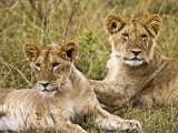 Lion Cubs Laying in the Bush  Maasai Mara  Kenya