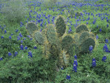 Bluebonnet and Texas Prickly Pear Cactus  New Braunfels  Texas  USA