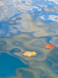 Two Leaves Floating on Pete&#39;s Lake  Upper Peninsula  Michigan  USA