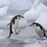 Chinstrap Penguins on ice  South Orkney Islands  Antarctica