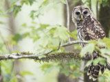Barred Owl  Vacharie  Louisiana  USA