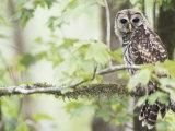 Barred Owl  Vacharie  Louisiana  USA