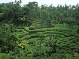 Lush Green Rice Terraces  Ubud  Bali  Indonesia