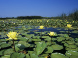 Yellow Waterlily  Welder Wildlife Refuge  Sinton  Texas  USA